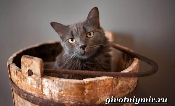 Нибелунг-кошка-Описание-особенности-уход-и-цена-кошки-нибелунг-8