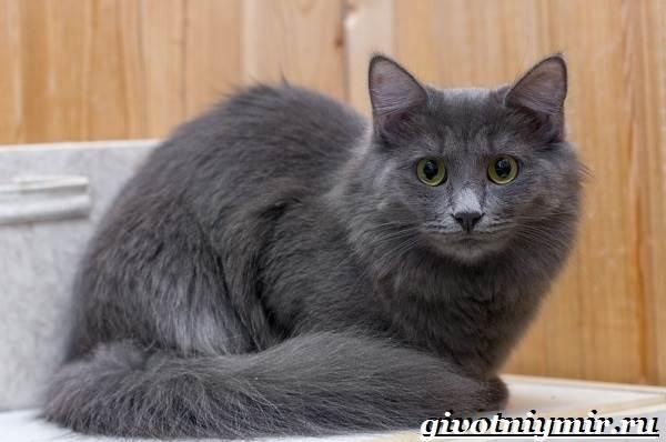 Нибелунг-кошка-Описание-особенности-уход-и-цена-кошки-нибелунг-9