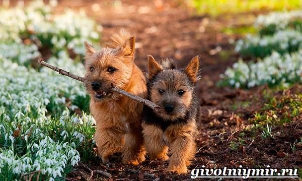 Норвич-терьер-собака-Описание-уход-и-цена-породы-норвич-терьер-1