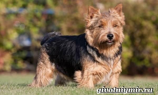 Норвич-терьер-собака-Описание-уход-и-цена-породы-норвич-терьер-2