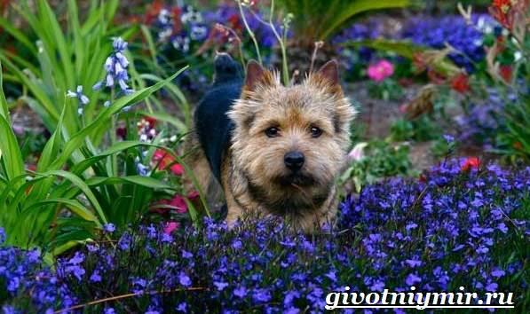 Норвич-терьер-собака-Описание-уход-и-цена-породы-норвич-терьер-3