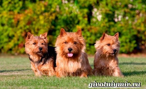 Норвич-терьер-собака-Описание-уход-и-цена-породы-норвич-терьер-4