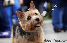 Норвич терьер собака. Описание, уход и цена породы норвич терьер