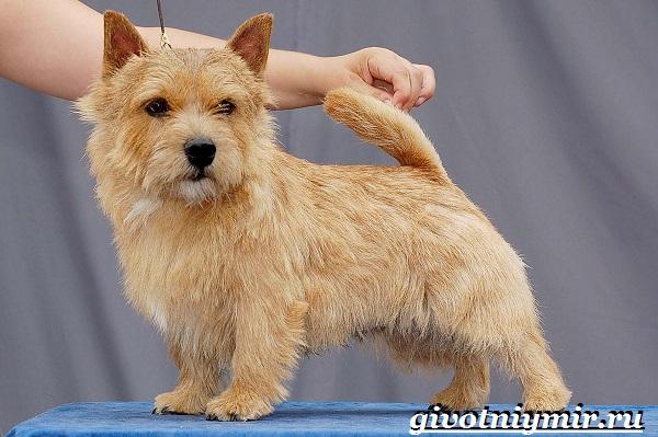 Норвич-терьер-собака-Описание-уход-и-цена-породы-норвич-терьер-9