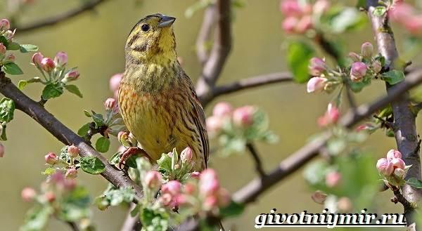 Овсянка-птица-Образ-жизни-и-среда-обитания-птицы-овсянки-1