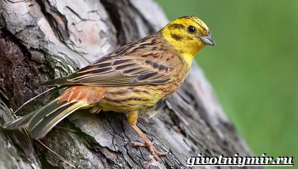 фото птицы овсянки