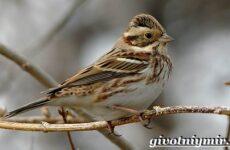 Овсянка птица. Образ жизни и среда обитания птицы овсянки