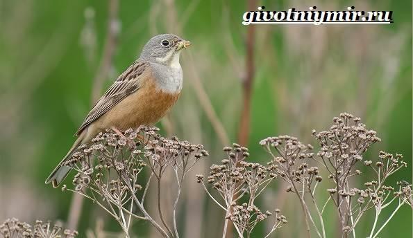 Овсянка-птица-Образ-жизни-и-среда-обитания-птицы-овсянки-4