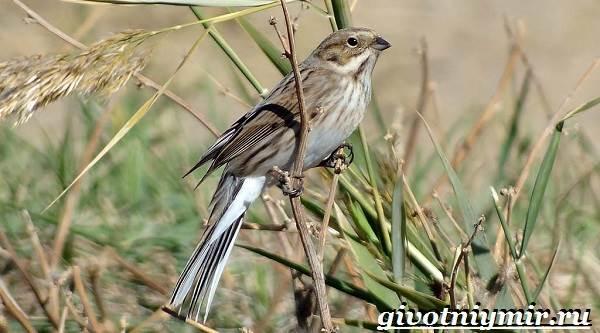 Овсянка-птица-Образ-жизни-и-среда-обитания-птицы-овсянки-5
