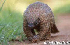 Панголин животное. Образ жизни и среда обитания панголина