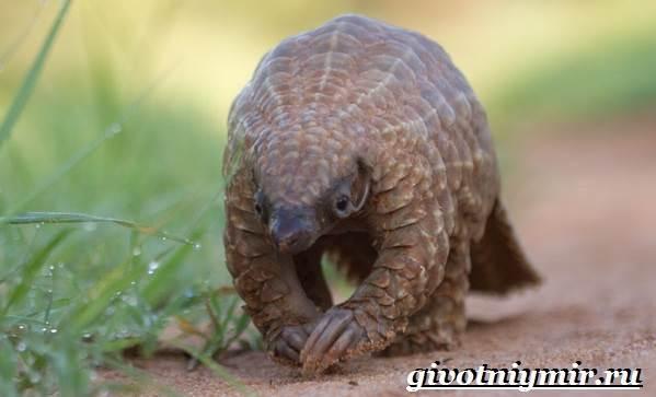 Панголин-животное-Образ-жизни-и-среда-обитания-панголина-10