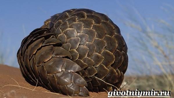 Панголин-животное-Образ-жизни-и-среда-обитания-панголина-2