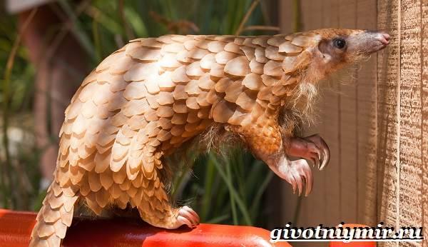 Панголин-животное-Образ-жизни-и-среда-обитания-панголина-3