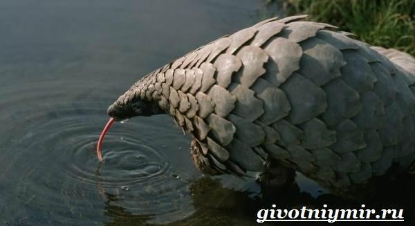 Панголин-животное-Образ-жизни-и-среда-обитания-панголина-6