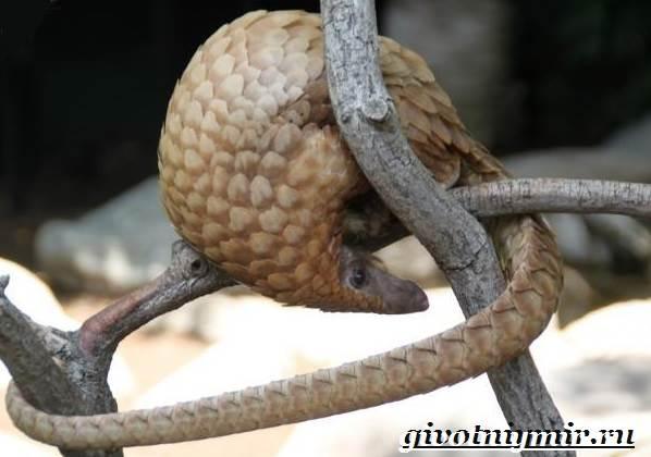 Панголин-животное-Образ-жизни-и-среда-обитания-панголина-7