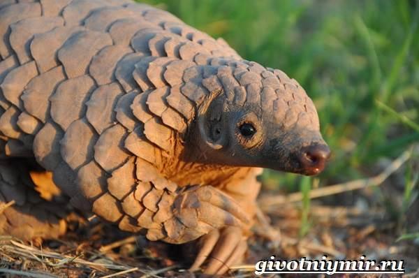 Панголин-животное-Образ-жизни-и-среда-обитания-панголина-8