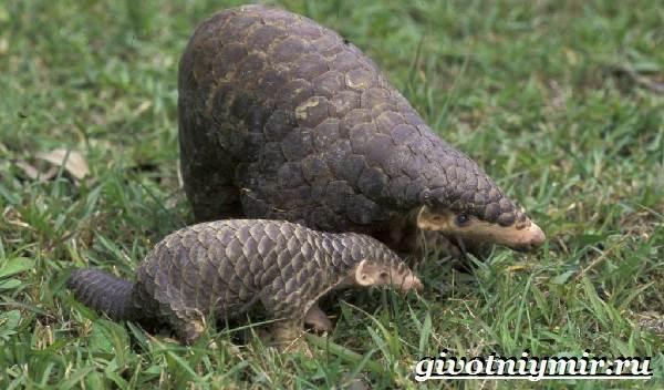Панголин-животное-Образ-жизни-и-среда-обитания-панголина-9