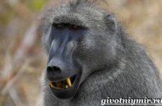 Павиан обезьяна. Образ жизни и среда обитания павиана