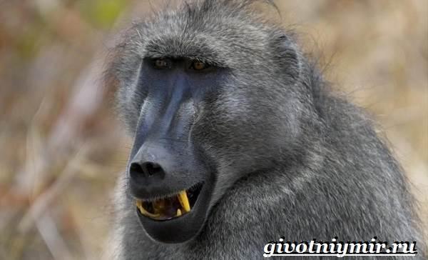 Павиан-обезьяна-Образ-жизни-и-среда-обитания-павиана-10