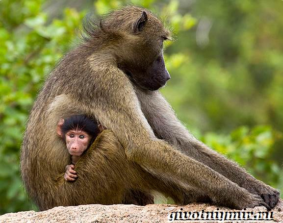 Павиан-обезьяна-Образ-жизни-и-среда-обитания-павиана-11