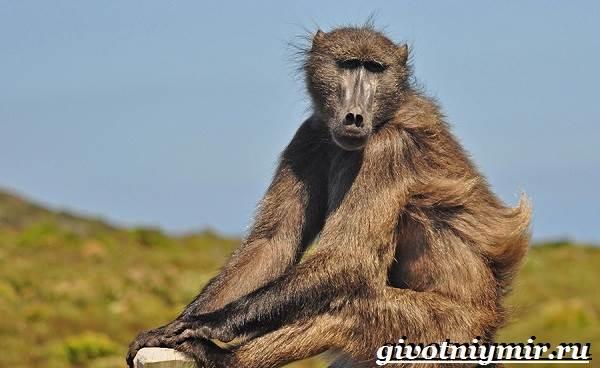 Павиан-обезьяна-Образ-жизни-и-среда-обитания-павиана-4