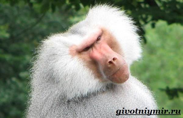 Павиан-обезьяна-Образ-жизни-и-среда-обитания-павиана-6