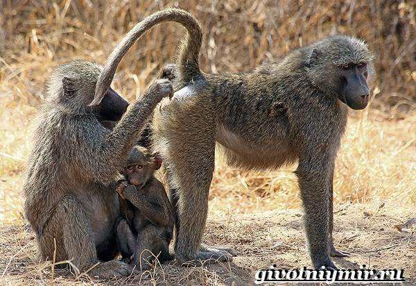 Павиан-обезьяна-Образ-жизни-и-среда-обитания-павиана-9