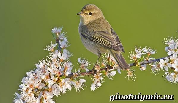 Пеночка-птица-Образ-жизни-и-среда-обитания-пеночки-1