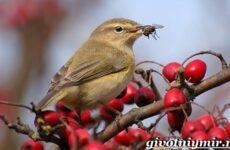 Пеночка птица. Образ жизни и среда обитания пеночки