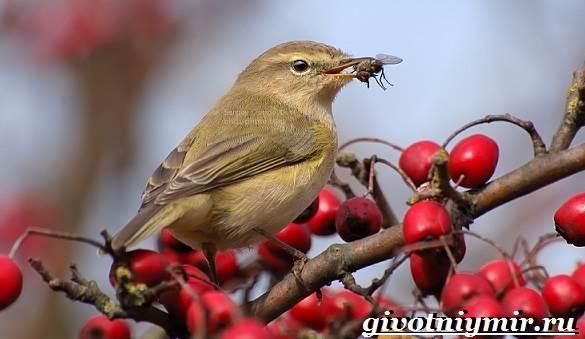 Пеночка-птица-Образ-жизни-и-среда-обитания-пеночки-10