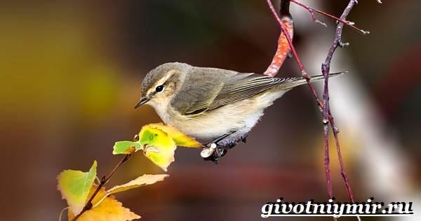 Пеночка-птица-Образ-жизни-и-среда-обитания-пеночки-2