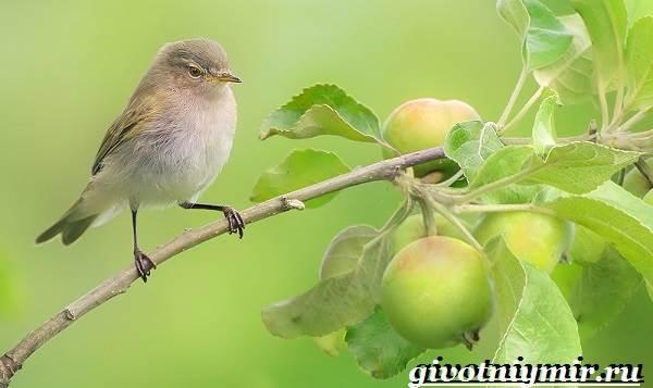 Пеночка-птица-Образ-жизни-и-среда-обитания-пеночки-3