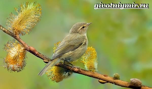 Пеночка-птица-Образ-жизни-и-среда-обитания-пеночки-4