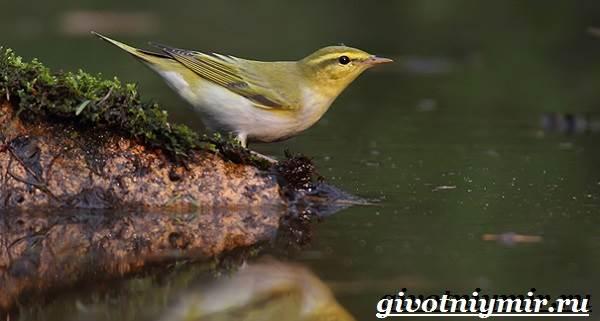 Пеночка-птица-Образ-жизни-и-среда-обитания-пеночки-5