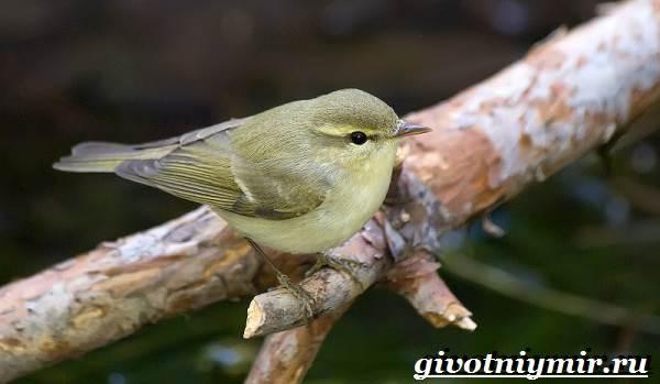 Пеночка-птица-Образ-жизни-и-среда-обитания-пеночки-6