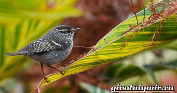 Пеночка-птица-Образ-жизни-и-среда-обитания-пеночки-7