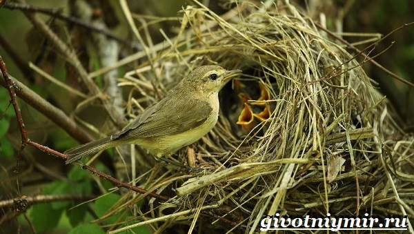 Пеночка-птица-Образ-жизни-и-среда-обитания-пеночки-8