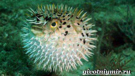 Рыба фугу. Образ жизни и среда обитания рыбы фугу