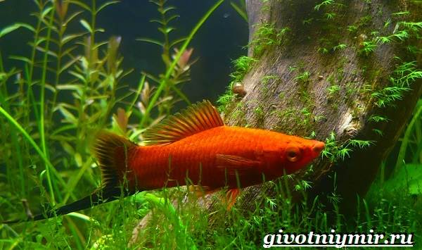 Рыба-меченосец-Описание-особенности-содержание-и-цена-меченосца-2