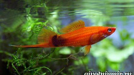 Рыба меченосец. Описание, особенности, содержание и цена меченосца