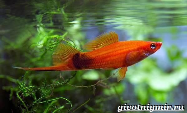 Рыба-меченосец-Описание-особенности-содержание-и-цена-меченосца-1