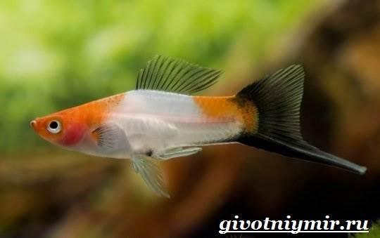 Рыба-меченосец-Описание-особенности-содержание-и-цена-меченосца-3