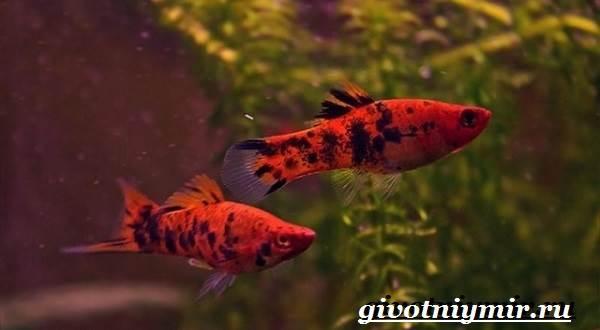 Рыба-меченосец-Описание-особенности-содержание-и-цена-меченосца-6