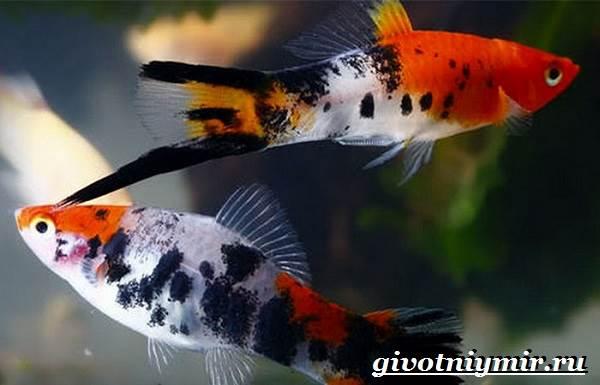Рыба-меченосец-Описание-особенности-содержание-и-цена-меченосца-7