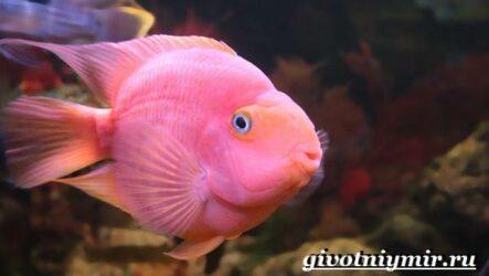 Рыба попугай. Образ жизни и среда обитания рыбы попугай