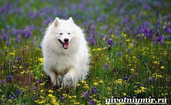 Самоедская-лайка-собака-Описание-особенности-уход-и-цена-самоедской-лайки-1