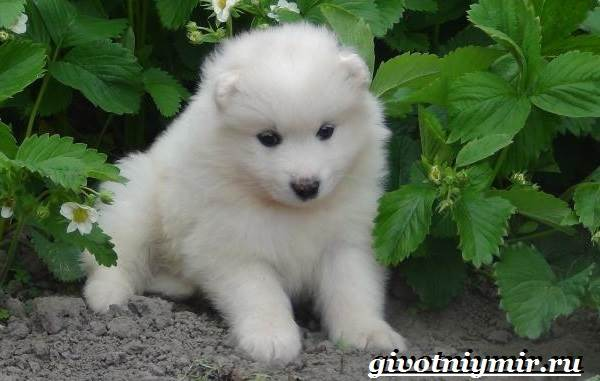 Самоедская-лайка-собака-Описание-особенности-уход-и-цена-самоедской-лайки-10