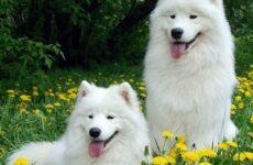Самоедская лайка собака. Описание, особенности, уход и цена самоедской лайки