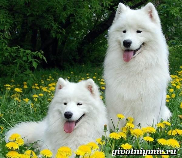Самоедская-лайка-собака-Описание-особенности-уход-и-цена-самоедской-лайки-3