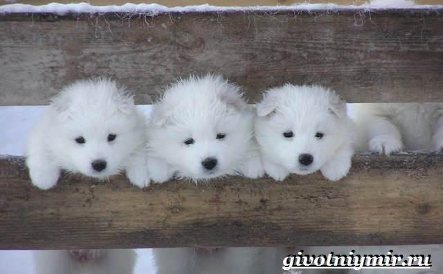 Самоедская-лайка-собака-Описание-особенности-уход-и-цена-самоедской-лайки-4